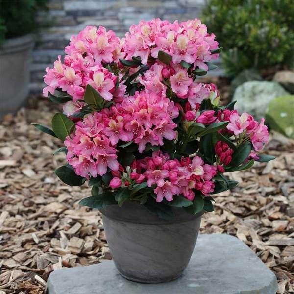 Rhododendron Brasilia