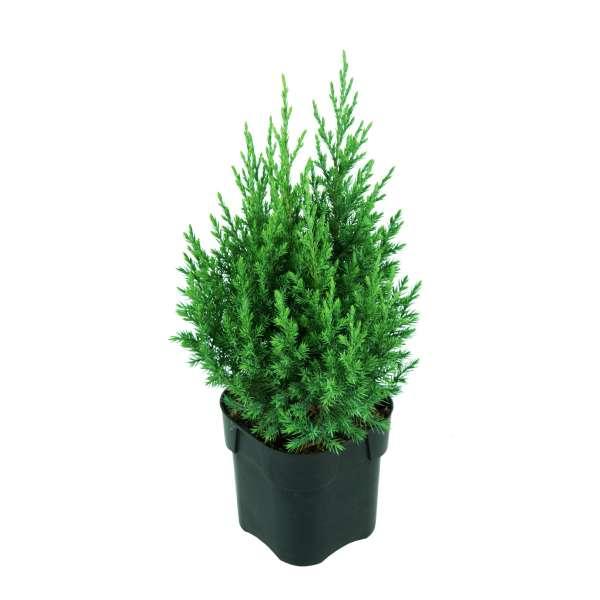 Mooswacholder-Juniperus-chinensis-Stricta-C2-20-25