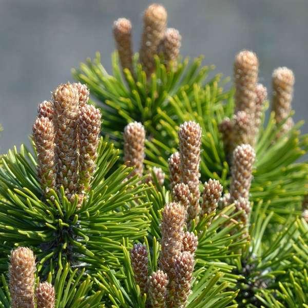Zwergkiefer-Pinus-mugo-Picobello-02
