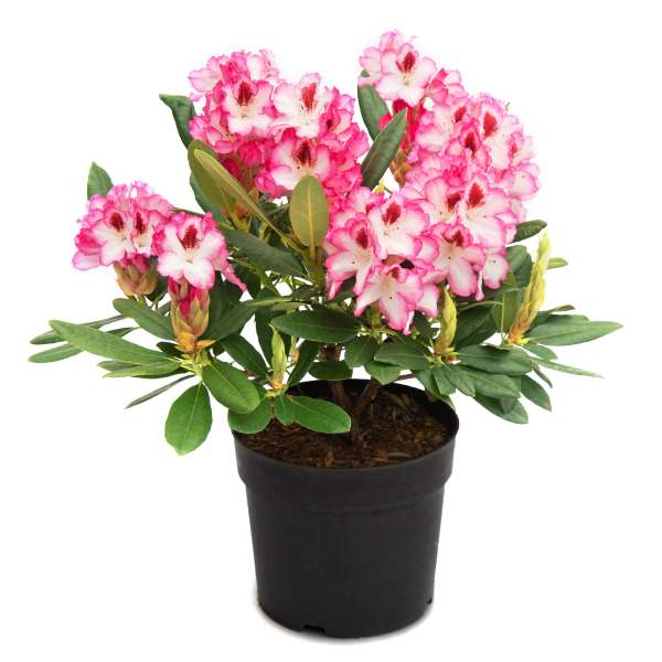 Rhododendron-Hybride-Hachmann's-Charmant-C5