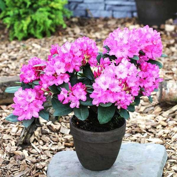 Rhododendron Constanze