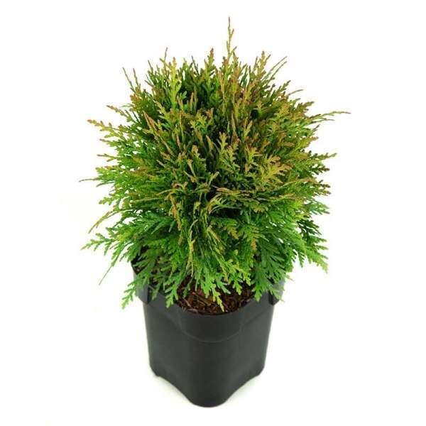 Kugel-Lebensbaum Danica