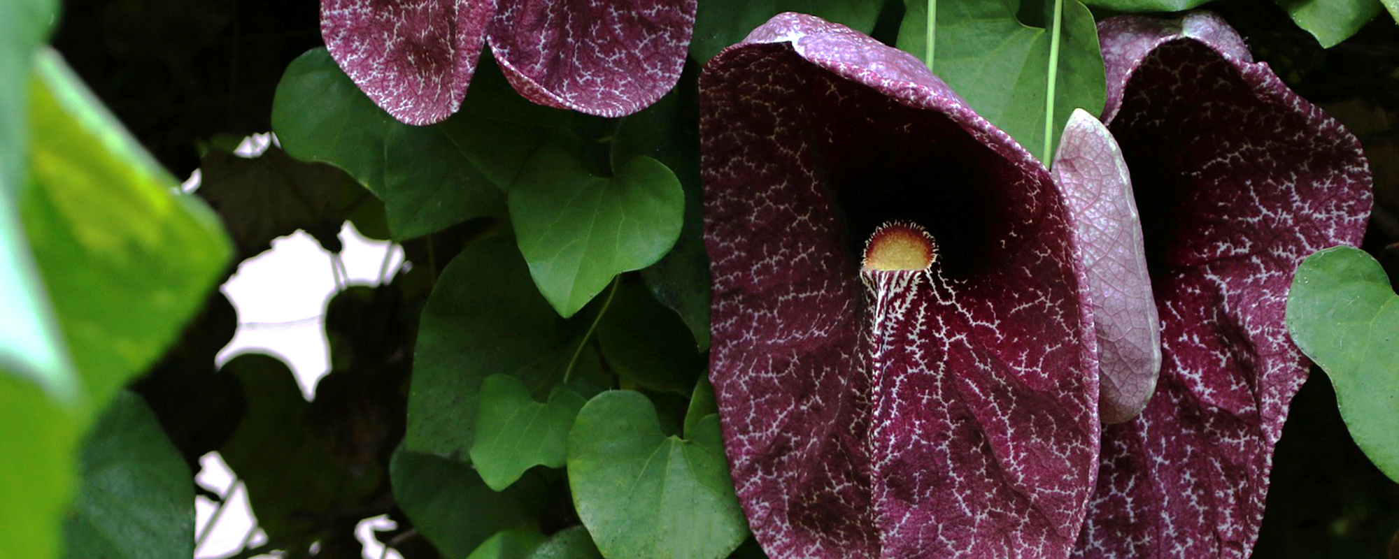 Pfeifenblumen Detail