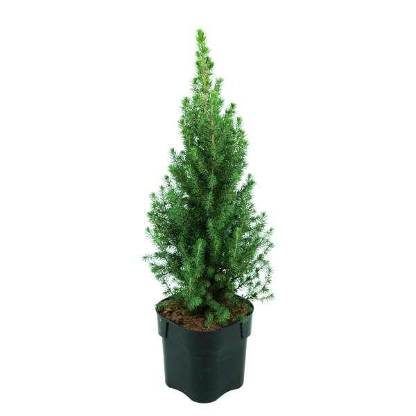 Zuckerhutfichte-Picea-glauca-Conica-Perfecta-C2