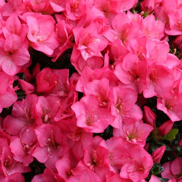 Japanische-Azalee-Rhododendron-obtusum-Anouk-02