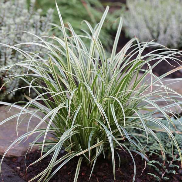 Garten-Segge Silver Sceptre