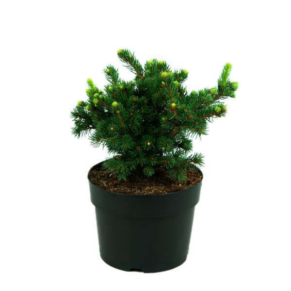 Picea-pungens-Lucky-Strike-C4_7-20-25