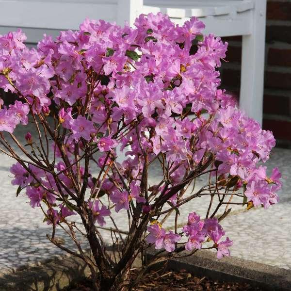 Rhododendron Praecox Vorgarten