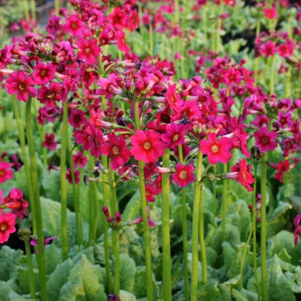 Etagen-Primel-Primula-japonica-Millers-Crimson-01
