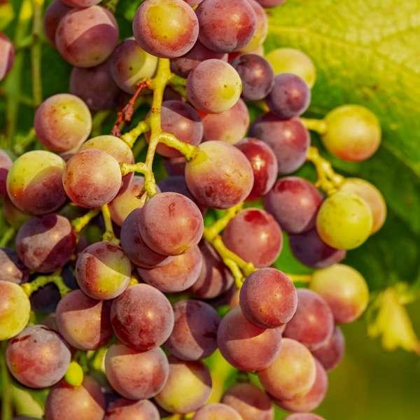 Weintraube-Vitis-vinifera-Vanessa-01