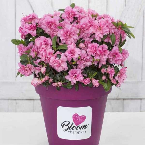 Azalee Bloom Champion Pink