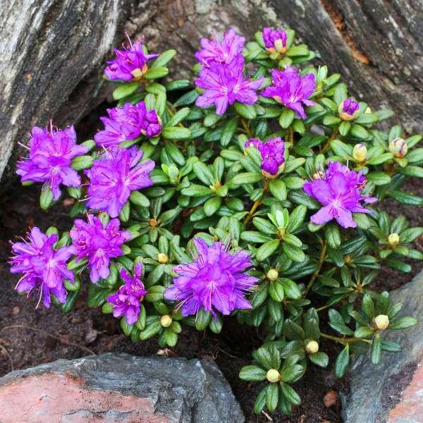 Zwerg-Rhododendron Purple Pillow Beet