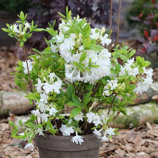 Sommergrüne Azalee Whitethroat