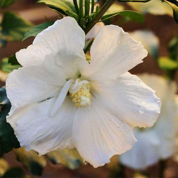 Garten-Eibisch / Hibiskus Diana