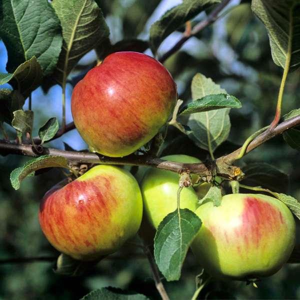 Apfelbaum-Malus-Gravensteiner-Frucht