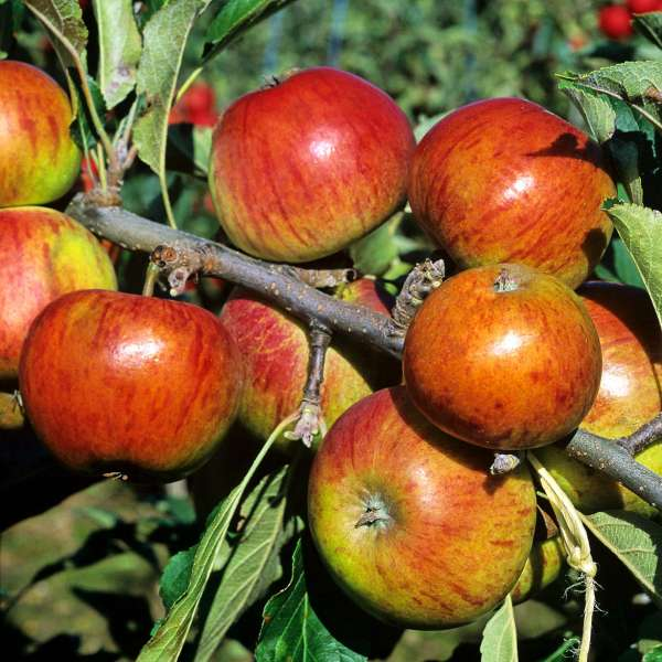 Apfelbaum-Malus-domestica-Cox-Orange-01
