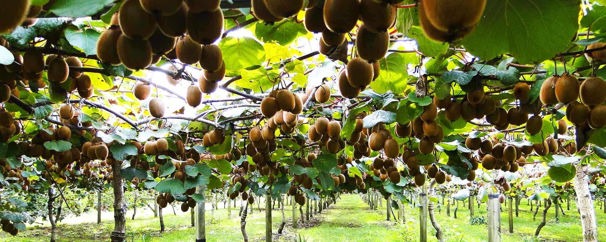 Kiwis Plantage