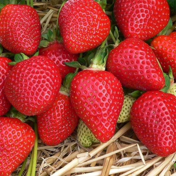 Mittelfrühe Erdbeere Asia