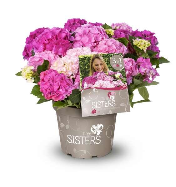 Bauernhortensie 'Three Sisters'®