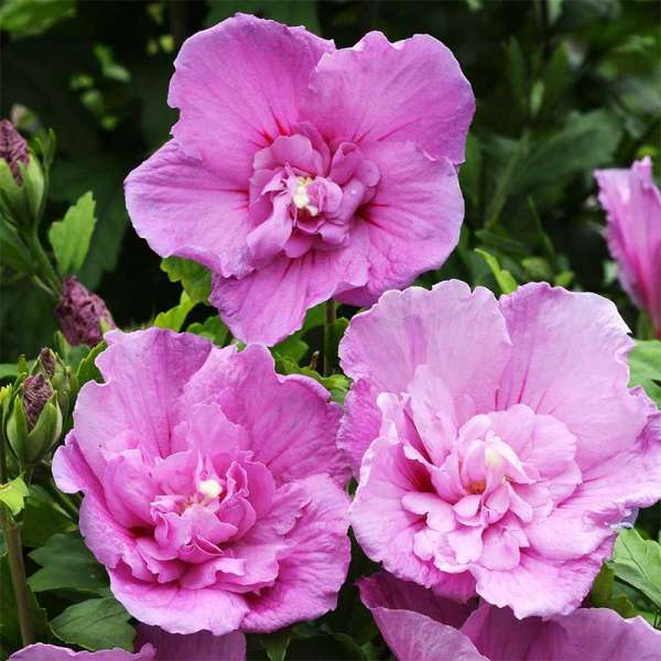 Hibiskus Lavender Chiffon