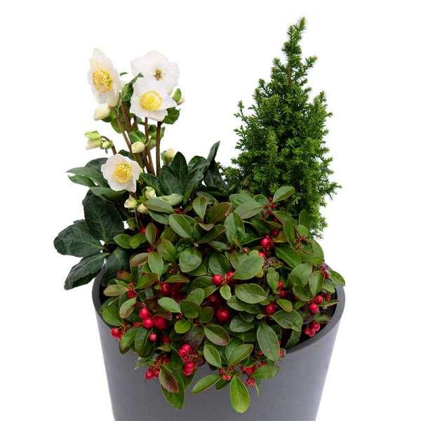 Pflanzenset Christmas-Trio