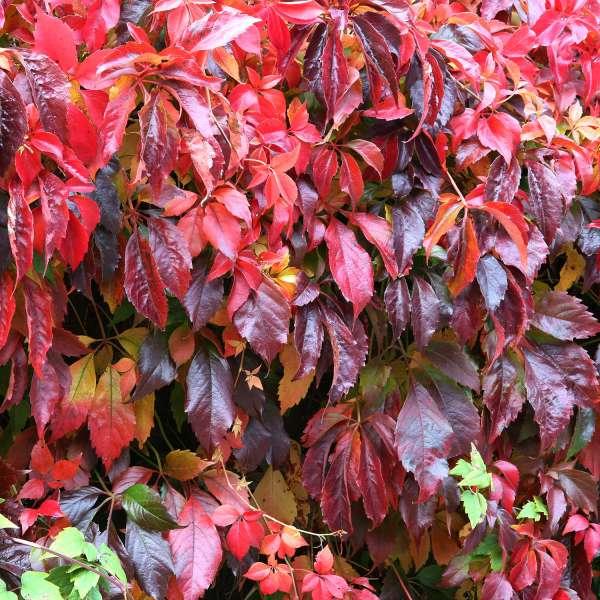 Wilder-Wein-Parthenocissus-quinquefolia-Herbst
