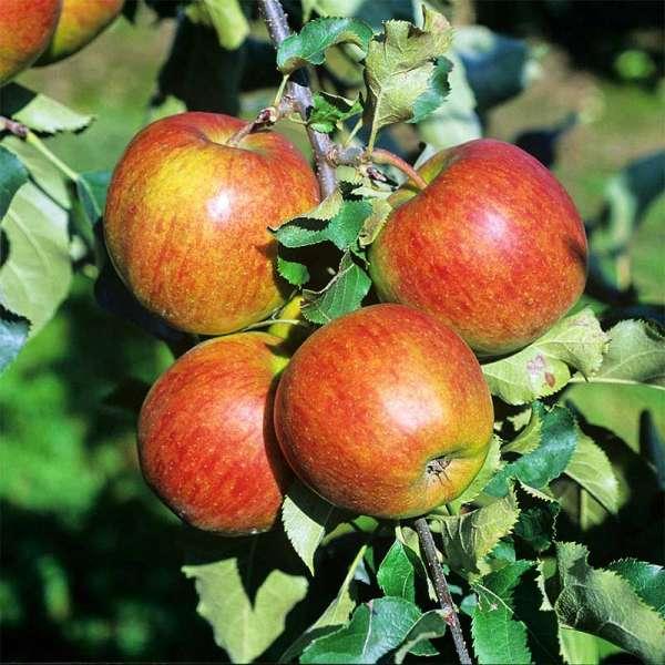 Apfelbaum Jonagold