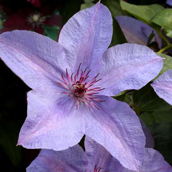 Waldrebe-Clematis-Minister-01