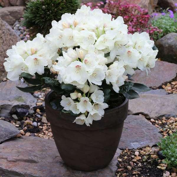 Rhododendron-yakushimanum-Flava-Topf