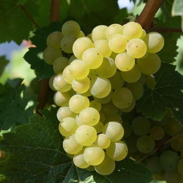 Weintraube-Vitis-vinifera-Bianca-01