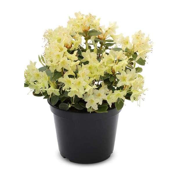 Zwerg-Rhododendron Shamrock