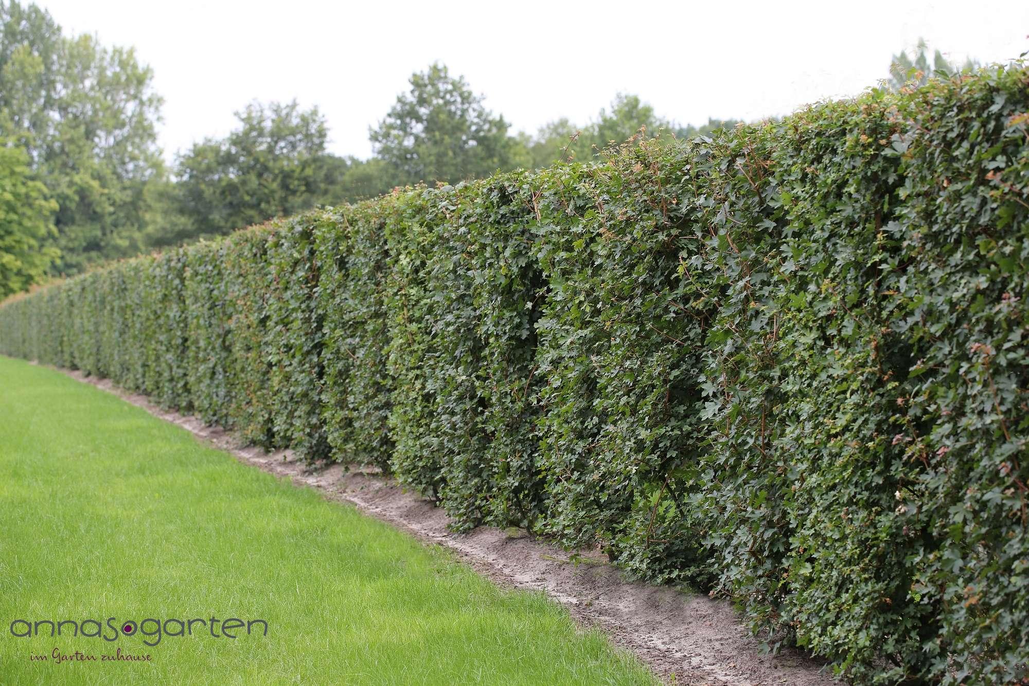 Feldahorn Acer campestre Heckenpflanzen