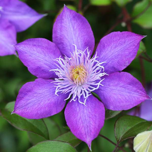 Waldrebe-Clematis-Crystal-Fountain-01