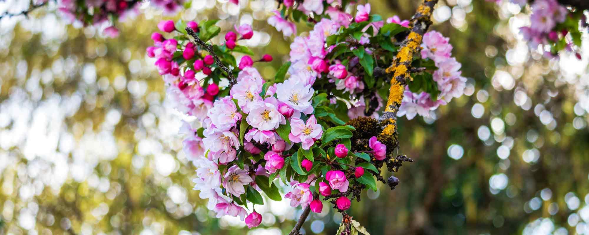 Obstbaum Apfelblüte