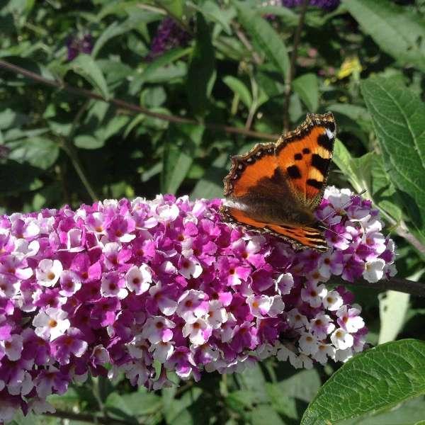 Sommerflieder 'Berries & Cream' Blüte mit Schmetterling