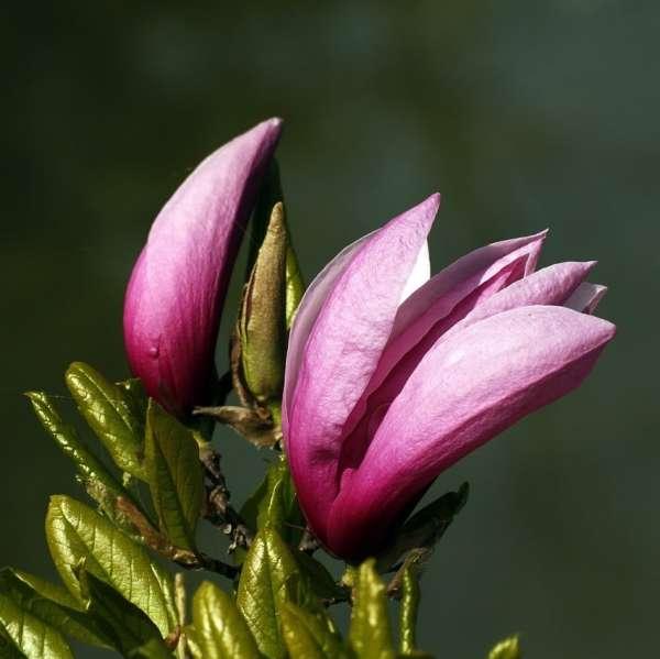 Purpur-Magnolie-Magnolia-liliiflora-Betty-01