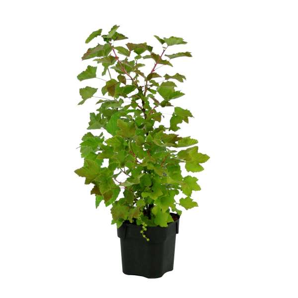 Ribes-sativa-Weisse-aus-Jüterbog-C2-25-30