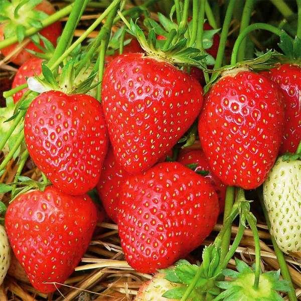 Späte Erdbeere Malwina