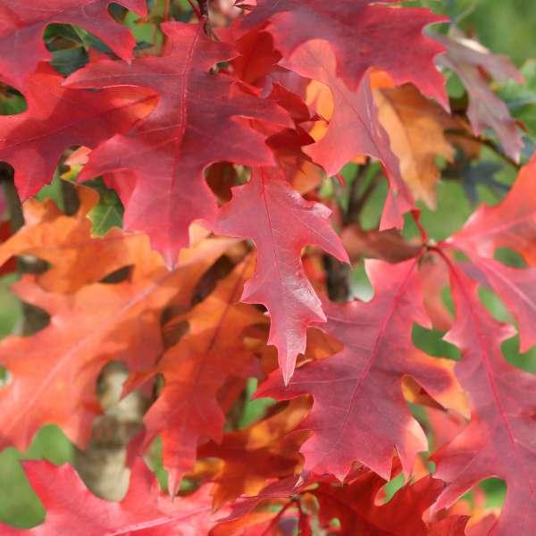 Säulen-Sumpfeiche-Quercus-palustris-Green-Pillar-01