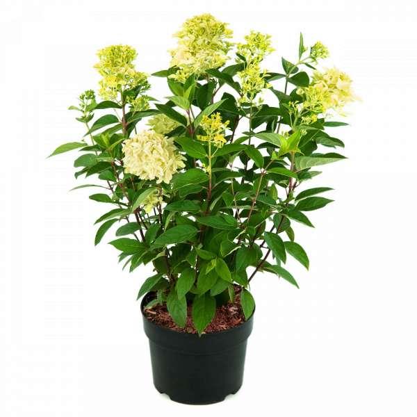 Rispenhortensie-Hydrangea-paniculata-Magical-Candle-C5-50-60-2